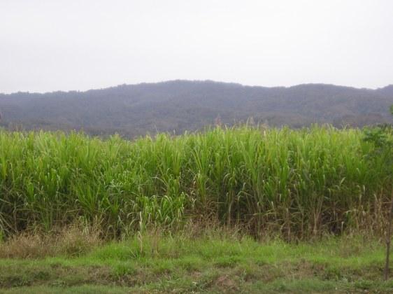 Argentina. Canne da zucchero